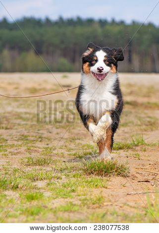 Happy Aussie dog runs on meadow with green grass in summer or spring. Beautiful Australian shepherd puppy 3 months old running towards camera. Cute dog enjoy playing at park outdoors.