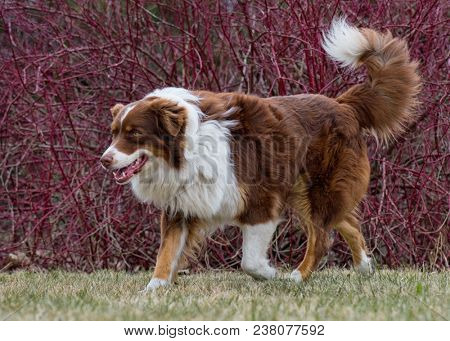 Australian Shepherd purebred dog on meadow in autumn or spring, outdoors countryside. Red Tri color Aussie adult dog.