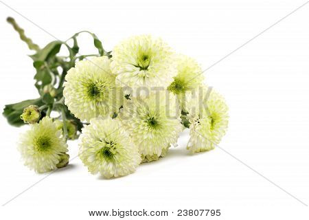 a branch of Chrysanthemum Flowers