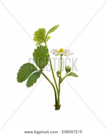 Strawberry Plant Isolated On A White Background