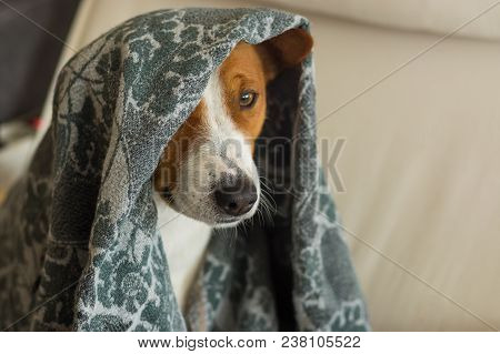 Indoor Portrait Of Royal Basenji Dog Hiding Under Coverlet In Favorite Chair Closely
