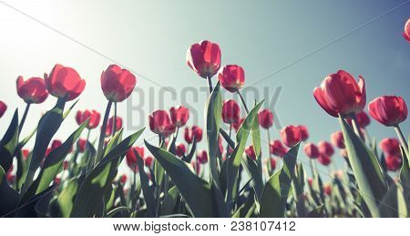 Pretty Red  Tulips Shot From Underneath During Sunset At A Wide Angle And A Soft Instagram Like Filt