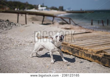 A Little White Chihuahua Doggie Is Keeping A Place On The Beach