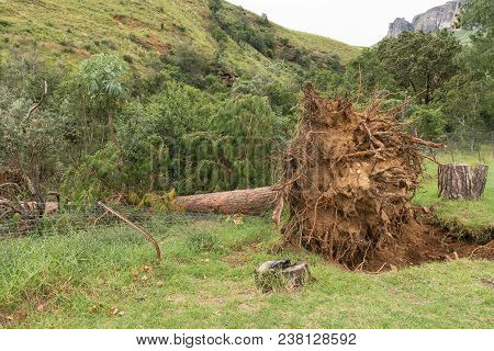 The Exposed Roots Of A Huge Pine Tree Toppled By Strong Winds In The Kwazulu-natal Drakensberg