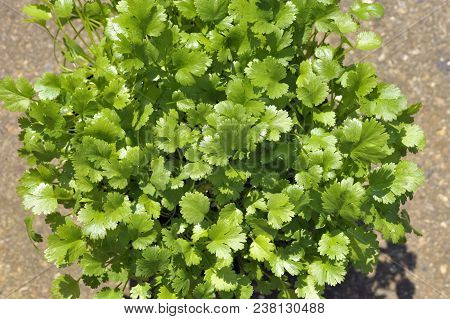Coriander Plants Growing, Coriandrum Sativum, Also Known As Pak Chee, Cilantro And Chinese Parsley.