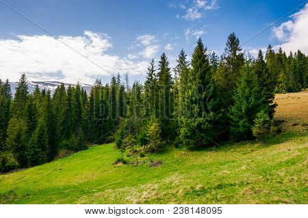 Spruce Forest On A Hill Side Meadow In High Mountains On A Cloudy Summer Day