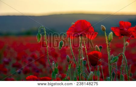 Vivid Red Poppy Field At Sunset. Beautiful Summer Background