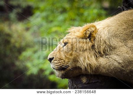 Lion Relaxing In The Rain With Green Plants In The Background On A Rainy Day