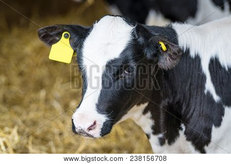 Black And White Calf Standing In A Stable With Hay All Around And A Yellow Mark In The Ear