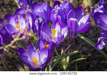 Close-up Of Purple Crocus Flowers In The Soil In A Flowerbed In The Spring