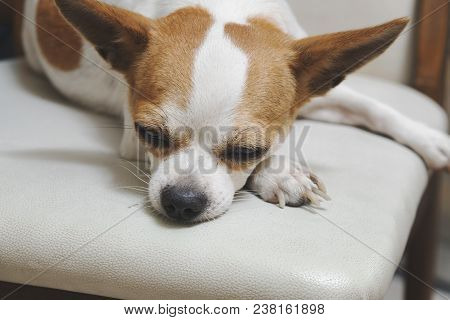 Close Up Sad Chihuahua Dogs Laying With Bored Faces,feeing Down Chihuahua,adorable Dogs.