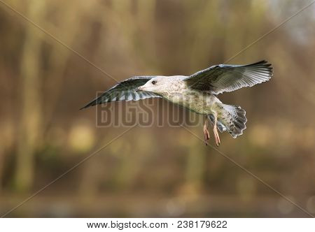 Close-up Of A Juvenile Herring Gull In Flight With Trees At The Background, Uk.