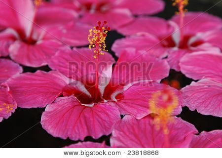Close Up Hibiscus On Water Five Petal Pink Indian Flower