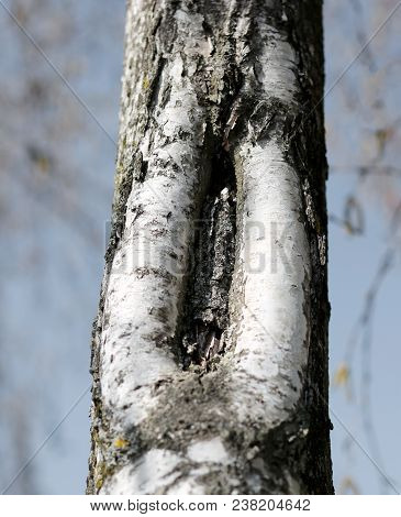 Bark Of The Birch Tree With The Shape That Resembles A Female Vagina