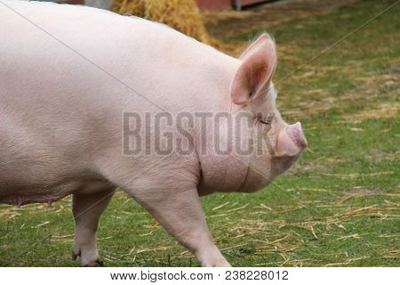 A Yorkshire Bred Middle White Sow Farm Pig.