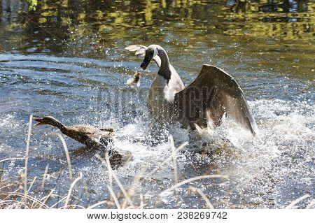 A Canada Goose Attacking A Mallard At Vancouver Bc Canada
