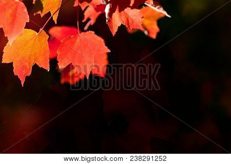 Red and yellow autumn leaves backlit over blurred background. Very shallow focus.