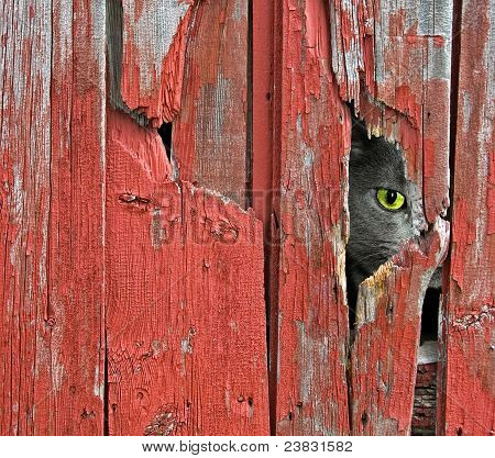 Tom cat peeking through old barn siding. poster