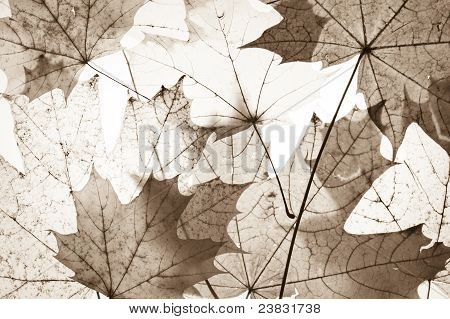 Осенью кленовые листья