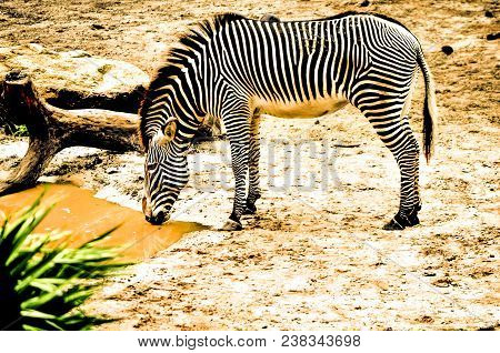 Beautiful Zebra Drinking From A Pond At The Zoo.