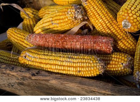 A lot of corncobs and one without corn