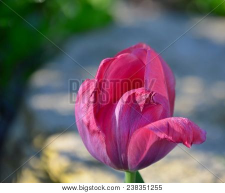 View Of Tulip Flower, South Bohemia, Czech Republic