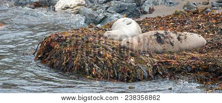 Elephant Seals On Kelp Bed On Beach At Piedras Blancas On The California Central Coast - United Stat