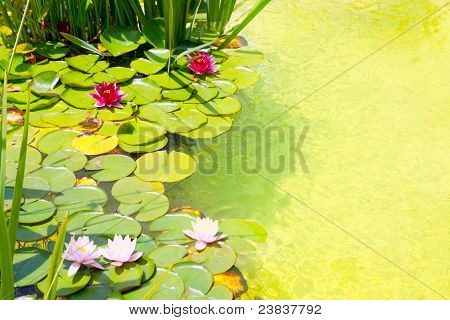 Nenufar Water Lilies on green water pond with clean water