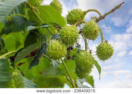 Several Ripe Horse Chestnuts In Their Green Prickly Shells On A Horse Chestnut Tree On A Background