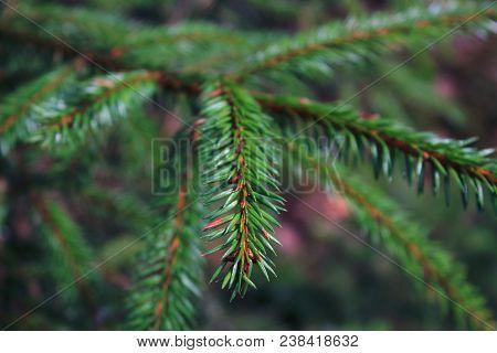 Spruce in the forest. Spruce branch.  Fir tree. Green fir. Fir forest