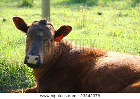 Brown Cow Sitting