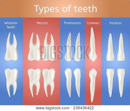 Different Type Of Tooth. 3d Realistic Poster. Wisdom Molar Premolar Canine And Incisor Teeth Set For