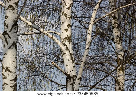 Beautiful Landscape With White Birches. Birch Trees In Bright Sunshine. Birch Grove In Autumn. The T