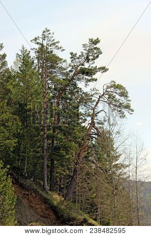 Several Conifer Trees On Steep Slope Grow Inclined And Hold Itself With Their Roots