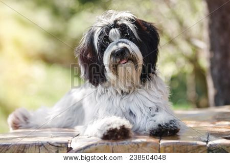 Tibetan Terrier Or Tsang Apso, Dokhi Apso Laying Down On Wooden Planks With Mouth Open. Nine Months