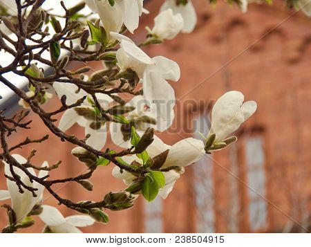 Amazing Nature Of White Magnolia At Middle Of Summer Or Spring Day On Church Background