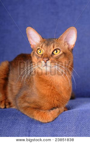 Beautiful somali male cat lying on blue sofa and looking aside. He could be recognise as abyssinian too. He has big ears and wild expression. poster