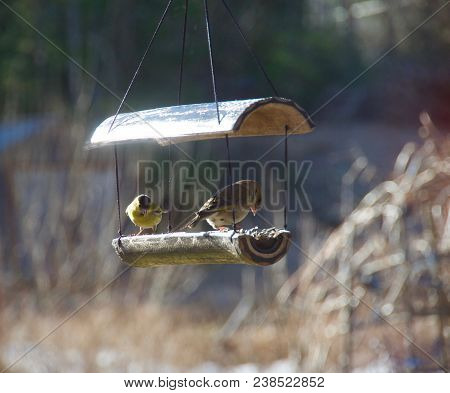 Beaqutiful Yellowhammer Birds In Norway In Spring