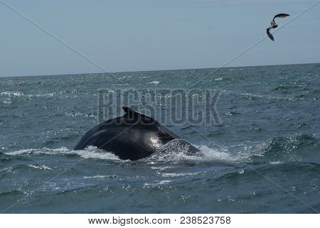 A Beautiful Humpback Whale Swimming In The Pacific Ocean. Photo Taken April 28, 2018.