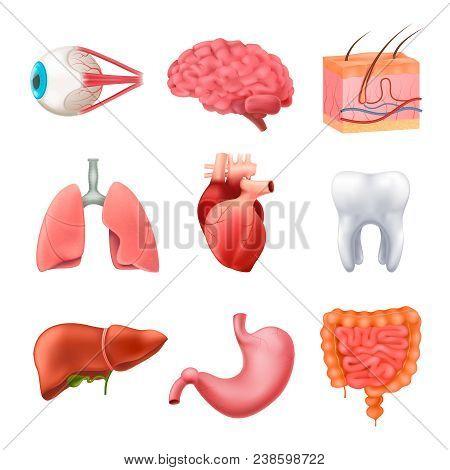 Human Internal Organs Vector & Photo (Free Trial)   Bigstock