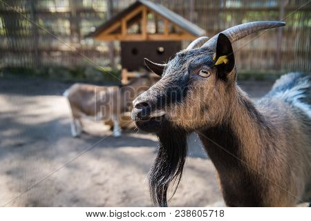 Domestic Goat Portrait In Pen, Capra Aegagrus Hircus Is A Subspecies Of Goat Domesticated From The W