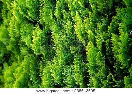 Conifer Of Fresh Green In The Garden