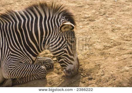 Zebra Asleep