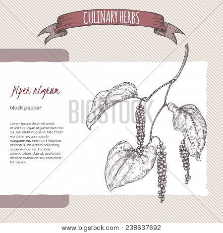 Black Pepper Aka Piper Nigrum Hand Drawn Sketch. Culinary Herbs Collection. Great For Cooking, Medic