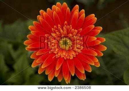 Gerbera Flower Orange