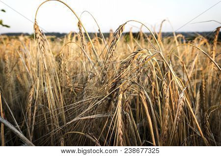 A Field Of Wheat. Ears Of Golden Wheat Closeup. Beautiful Nature Rural Landscape Under Bright Sunlig