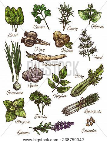 Spice, Herb And Fresh Leaf Vegetable Sketch Set Of Natural Food Seasoning. Green Onion, Rosemary And