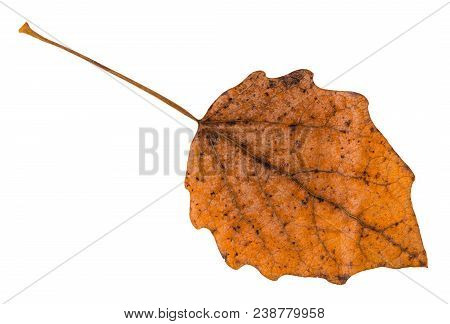 Back Side Of Fallen Brown Leaf Of Aspen Tree Isolated On White Background