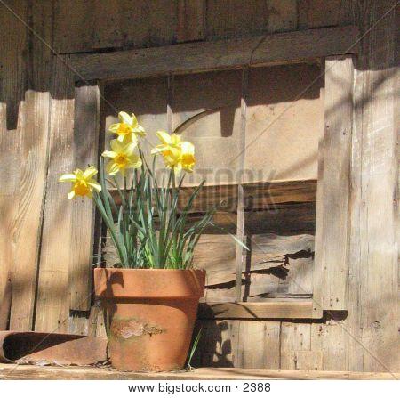 Daffodilsonledge