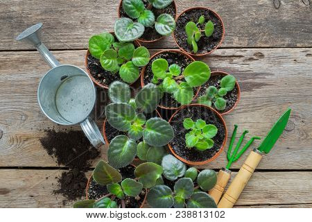 Several Flowerpot Of Home Plants. Planting Potted Flowers, Watering Can And Garden Tools.
